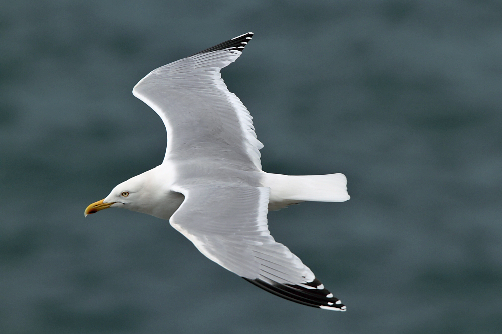 Herring Gull (Neil G Morris)