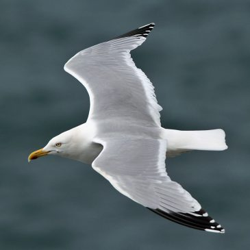 Gulls and Swifts – we urgently need your sightings!