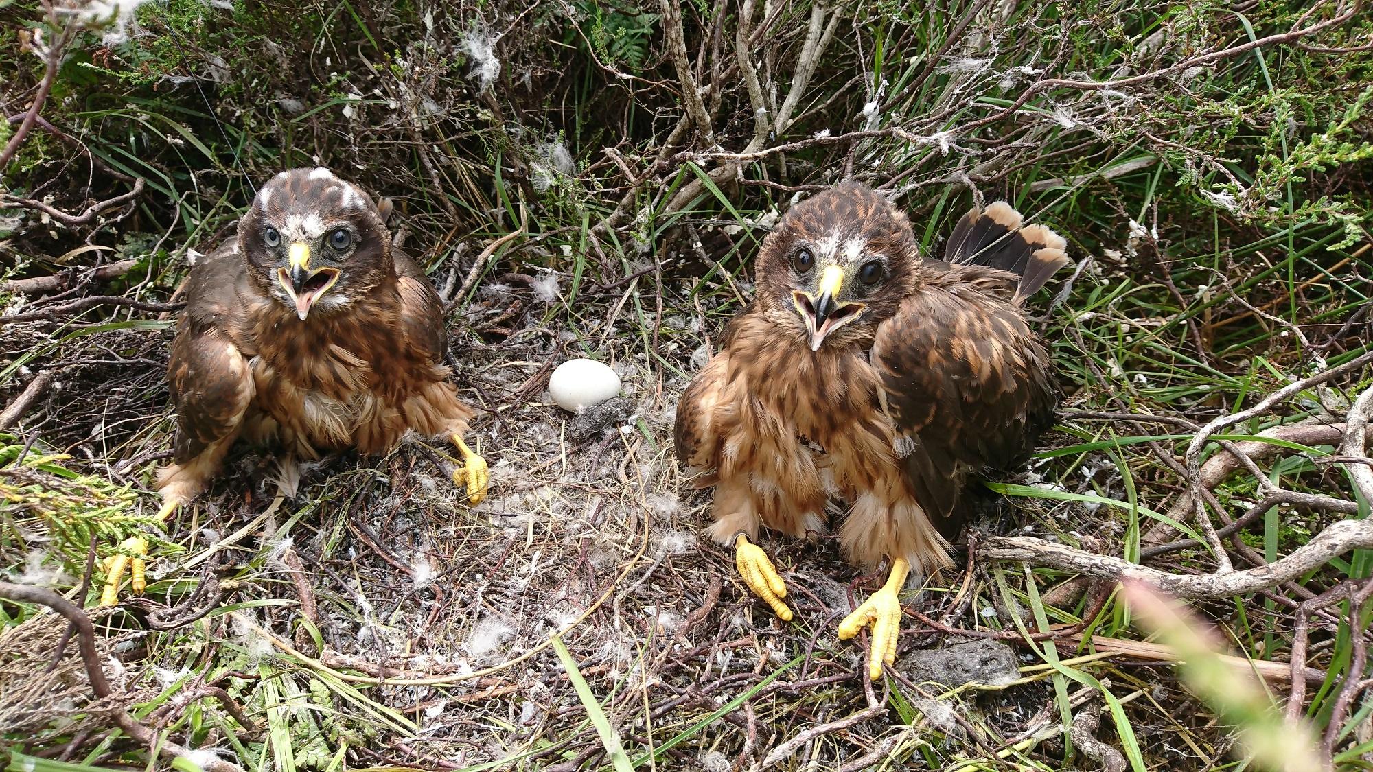Hen Harriers: Mannin (L) and Grayse (R) (James Leonard)