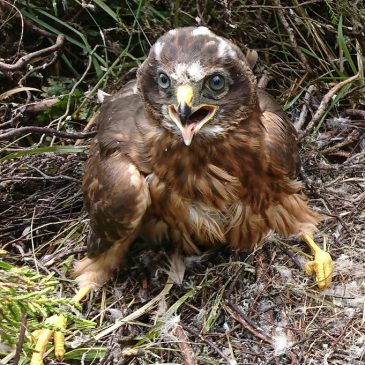 Introducing Grayse and Mannin, the satellite-tagged Manx Hen Harriers