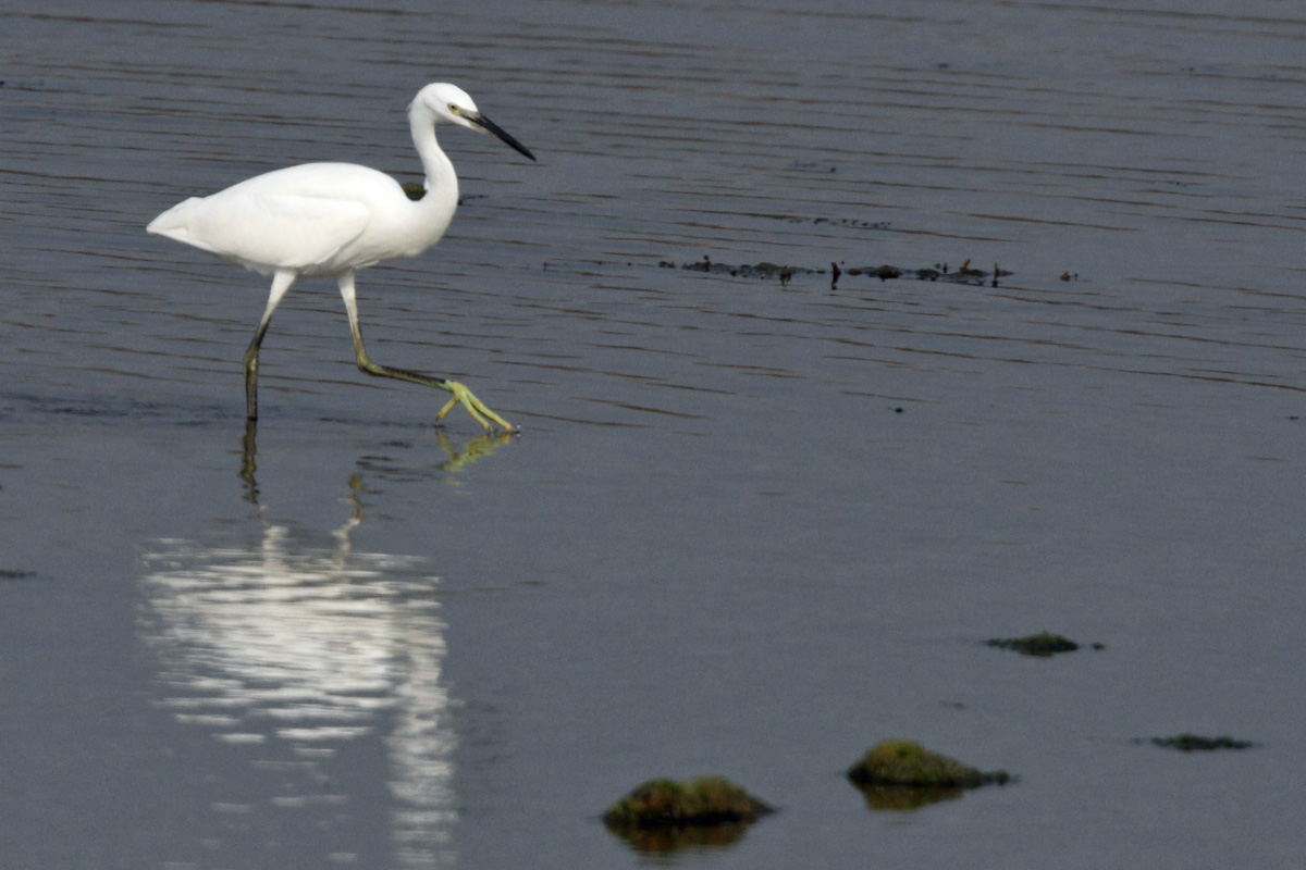 Little Egret (Neil G Morris)