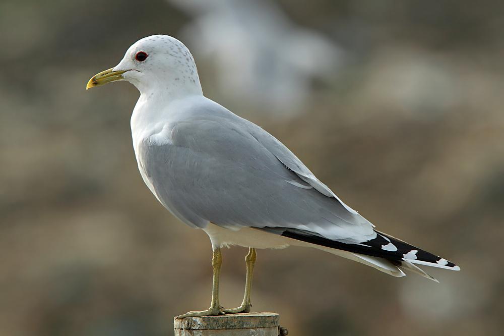 Common Gull (Neil G. Morris)