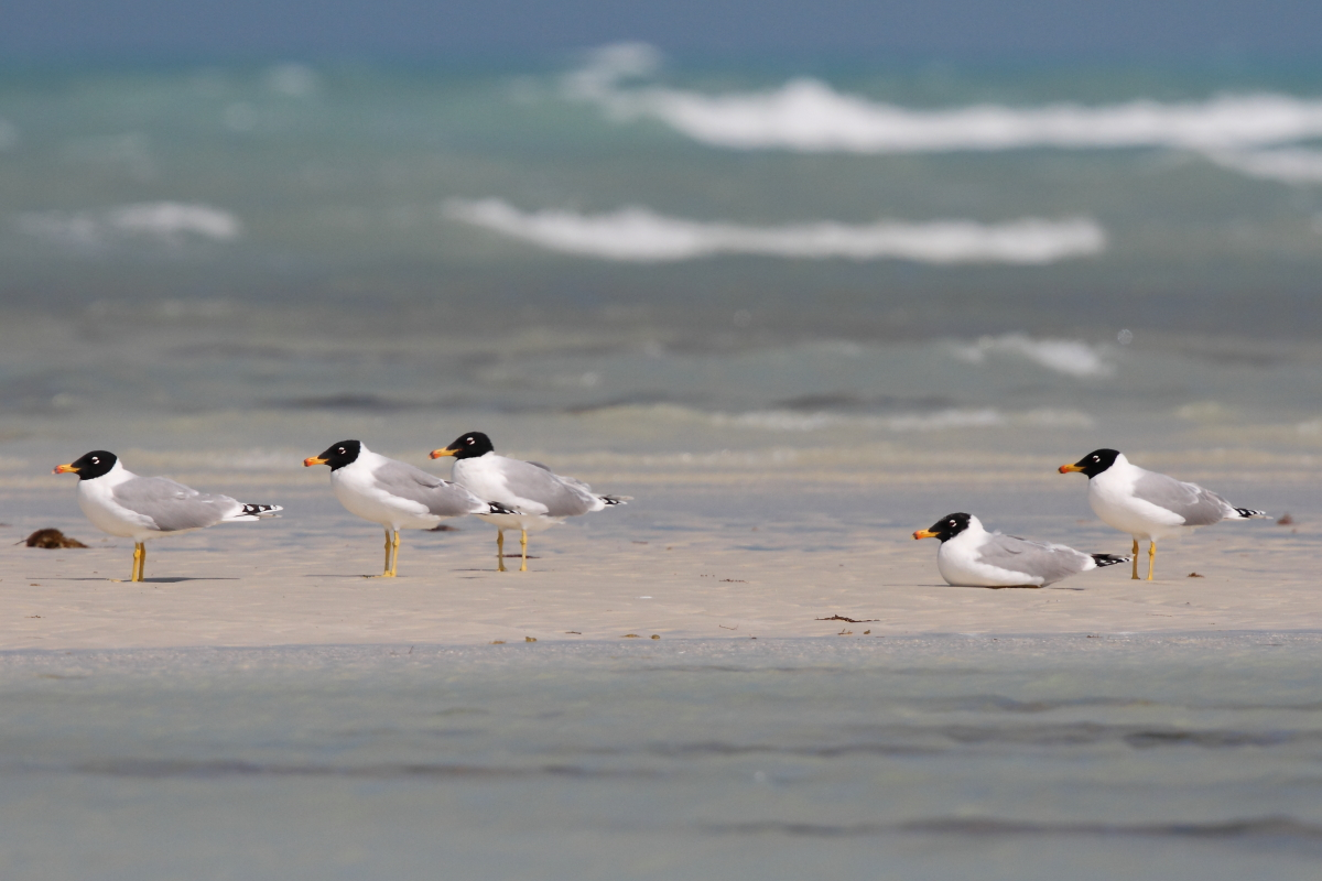 Great Black-headed Gull (Neil G. Morris)