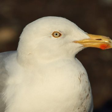 Herring Gull – the facts