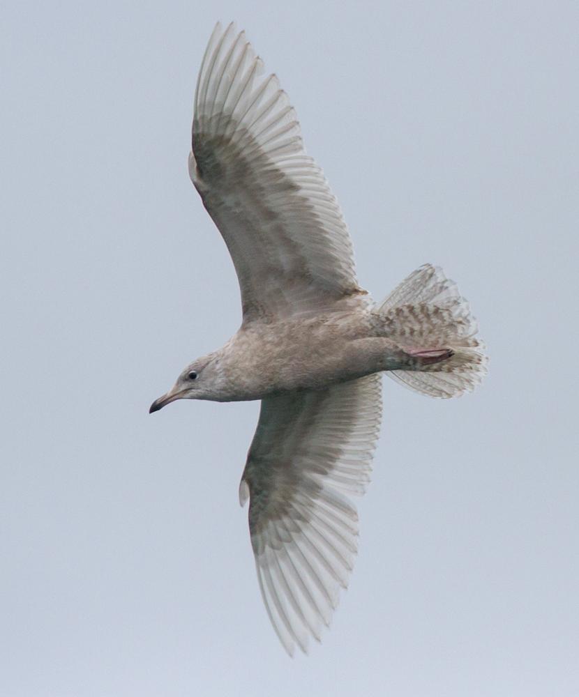 Iceland Gull (Neil G. Morris)