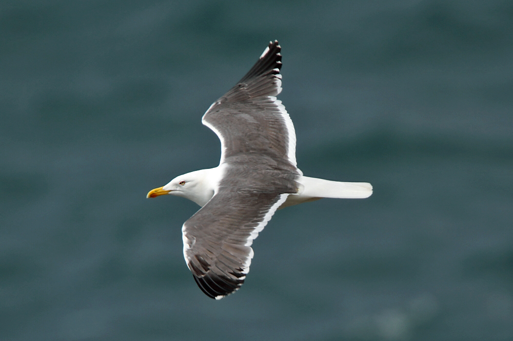 Lesser Black-backed Gull (Neil G. Morris)