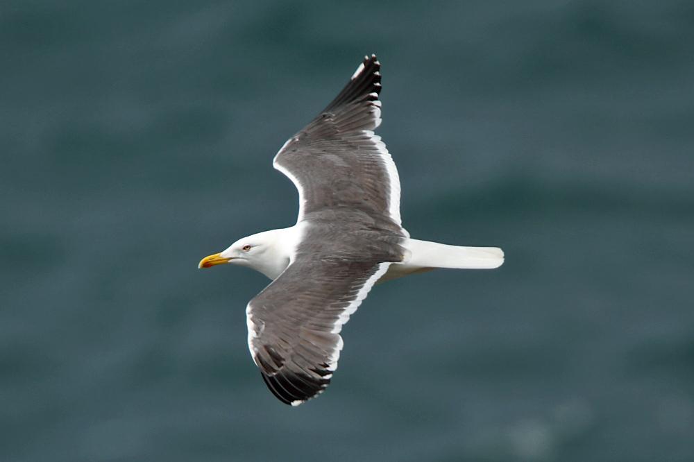 Lesser Black-backed Gull (Neil G. Morris)