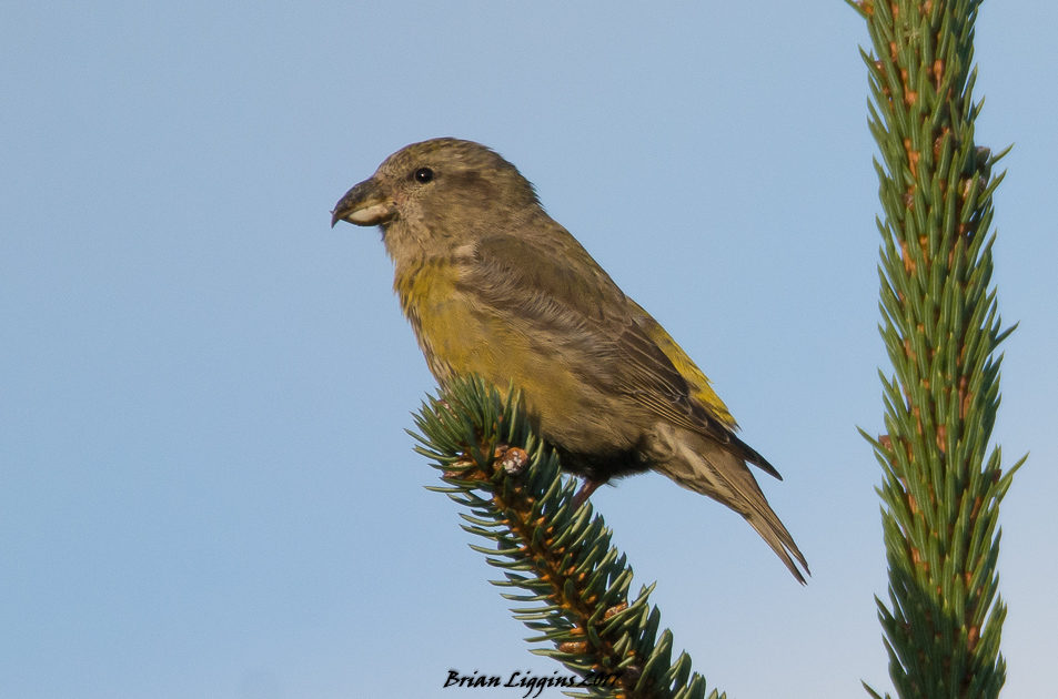 Common Crossbill 29 Oct 2017 (Brian Liggins)