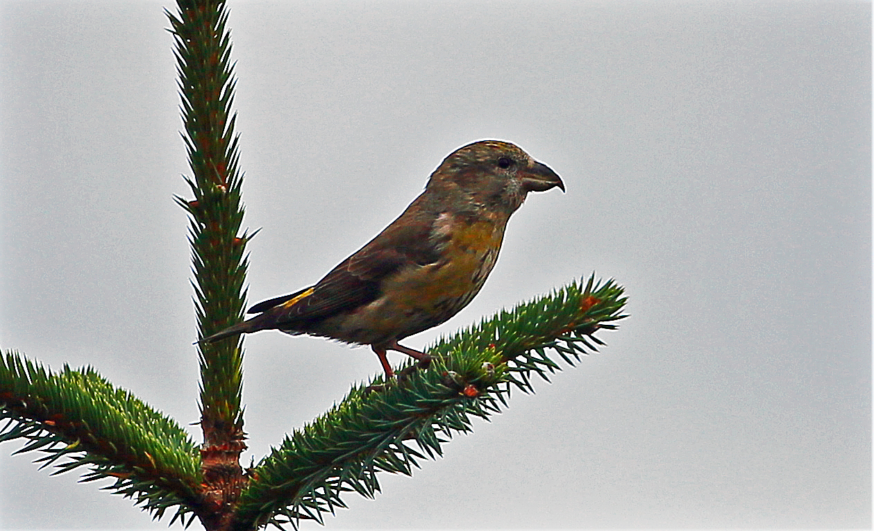 Common Crossbill 30 Oct 2017 John Donnelly)