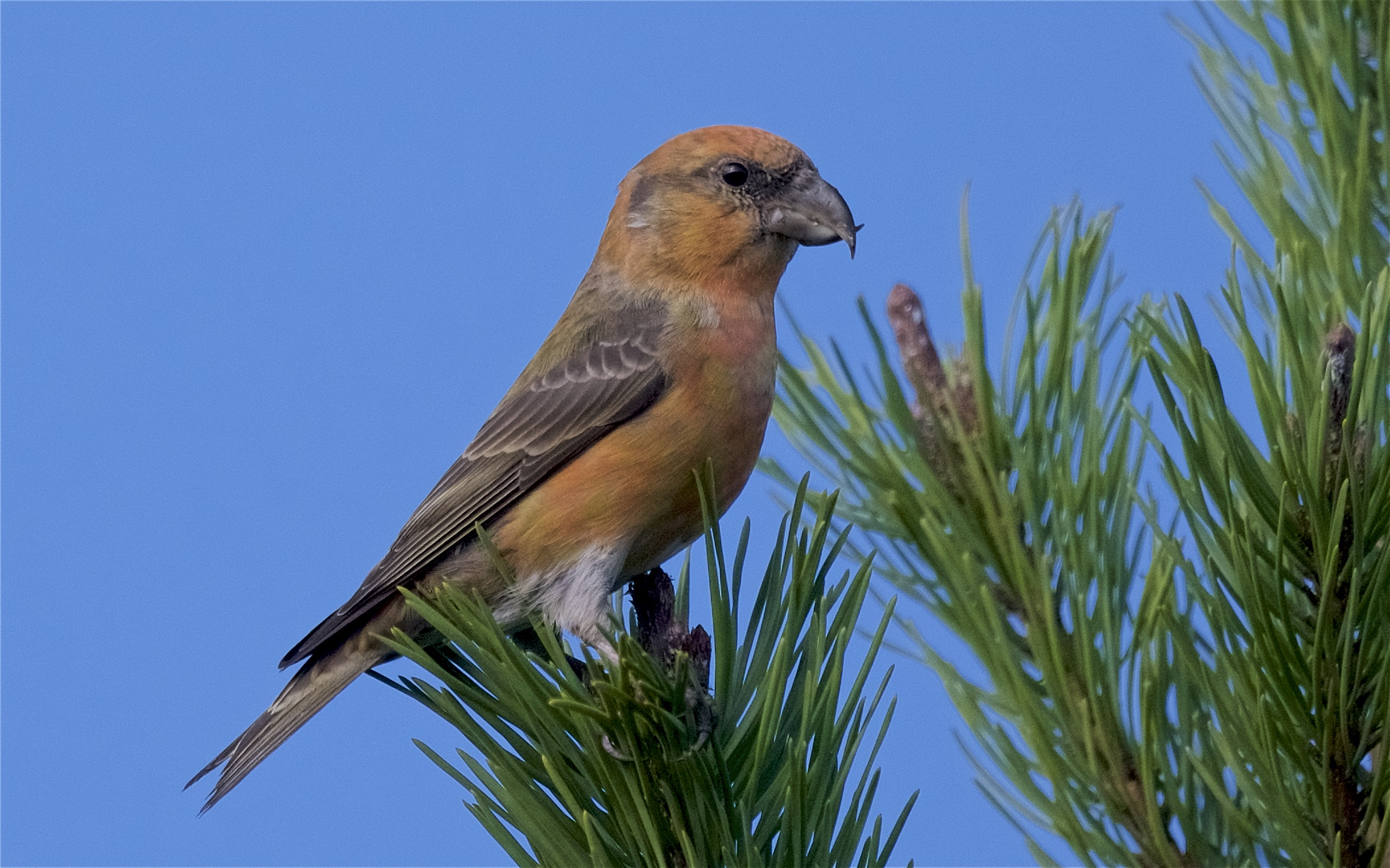 Common Crossbill 29 Oct 2017 (Peter Christian)
