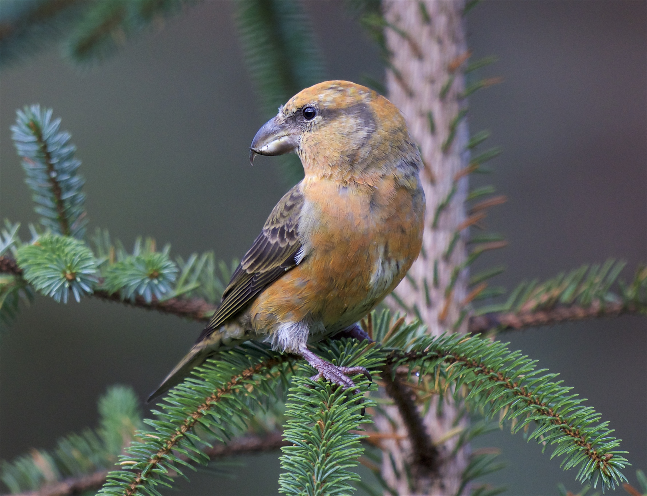 Common Crossbill 30 Oct 2017 (Peter Christian)
