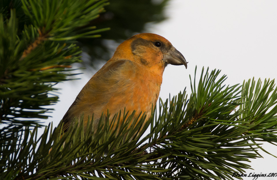 Common Crossbill 04 Nov 2017 (Brian Liggins)