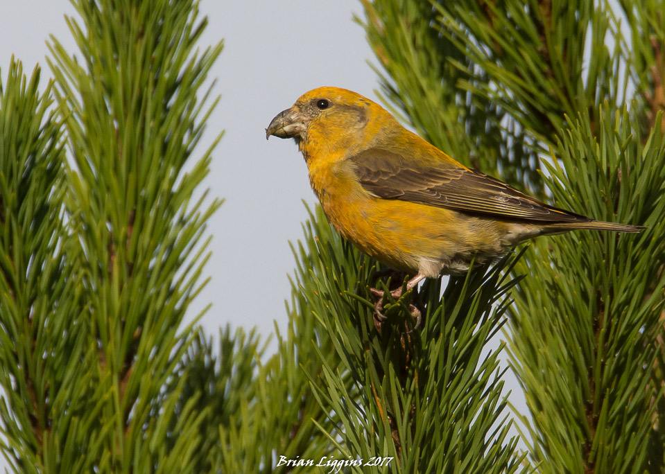 Putative Parrot Crossbill 04 Nov 2017 (Brian Liggins)
