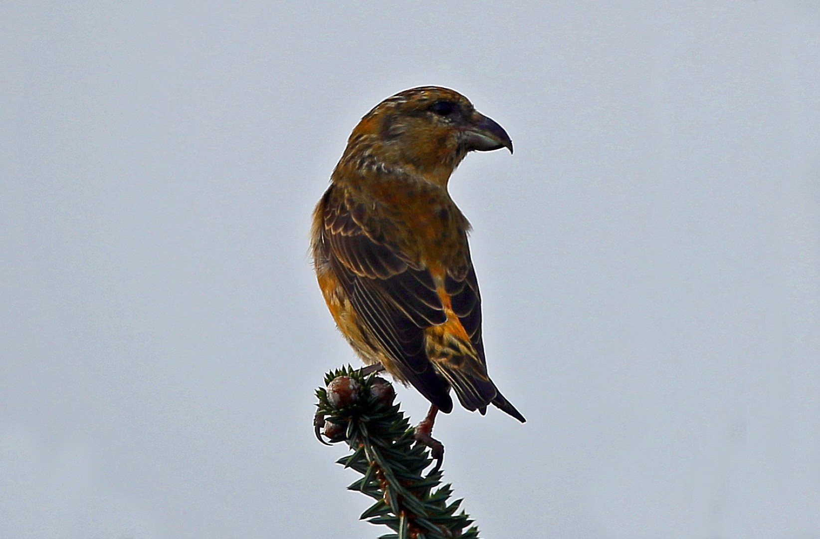 Common Crossbill 08 Nov 2017 (John Donnelly)