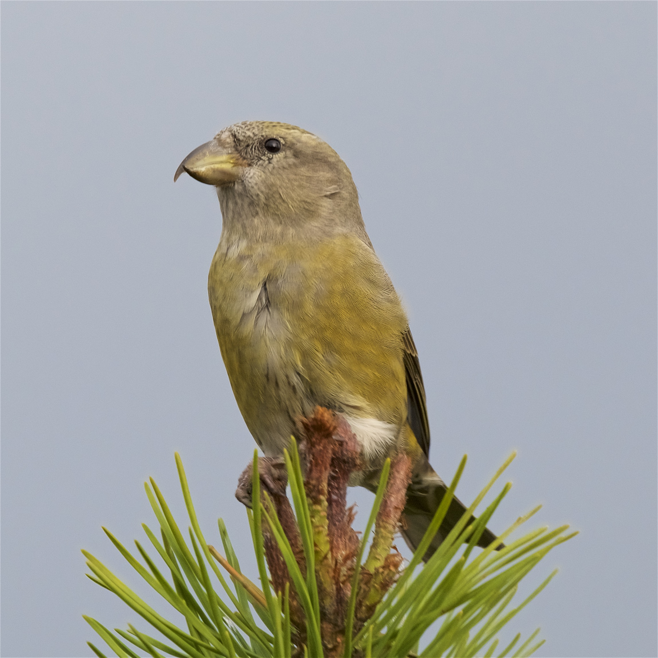 Common Crossbill 10 Nov 2017 (Peter Christian)