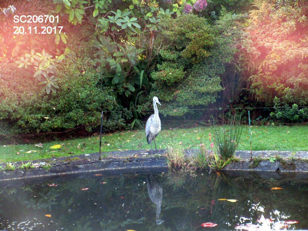 Grey Heron (Sheila Norris)