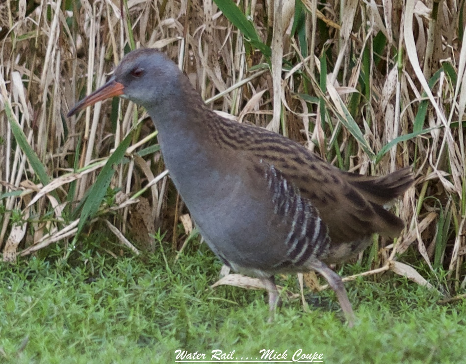Water Rail (Michael Coupe)