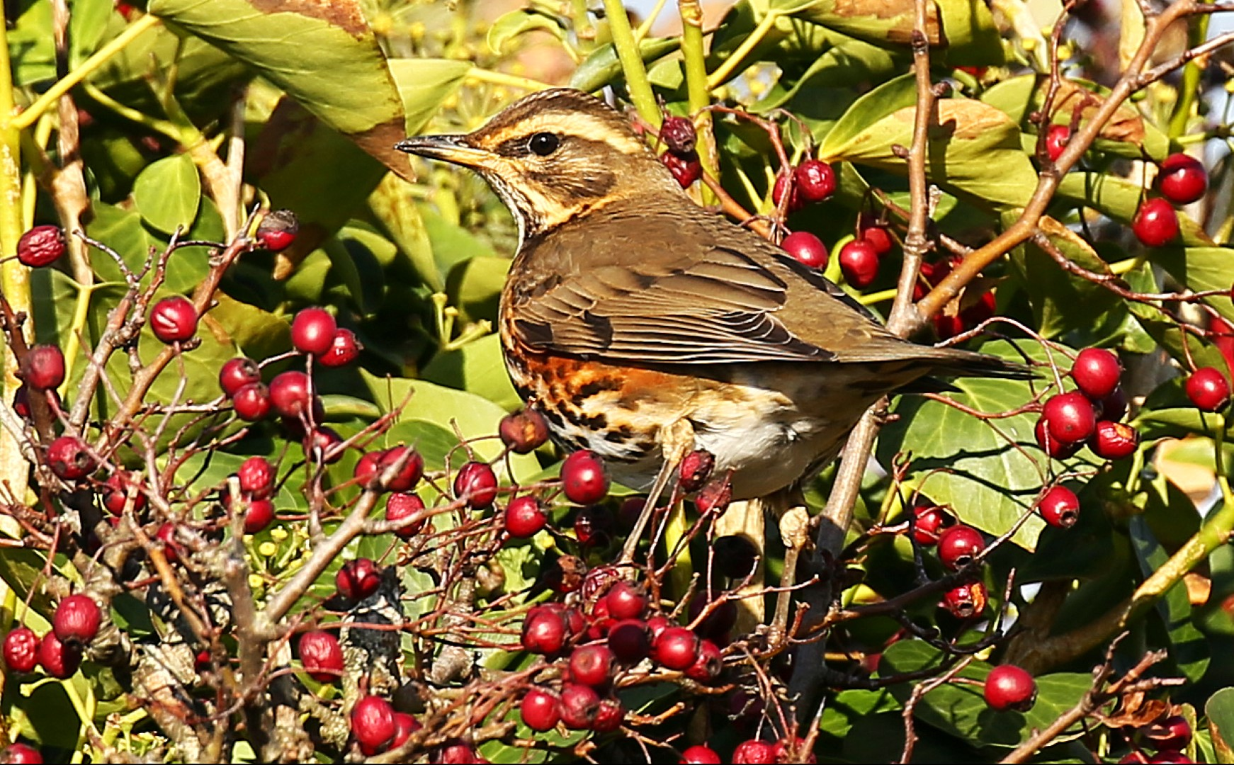 Redwing (John Donnelly)