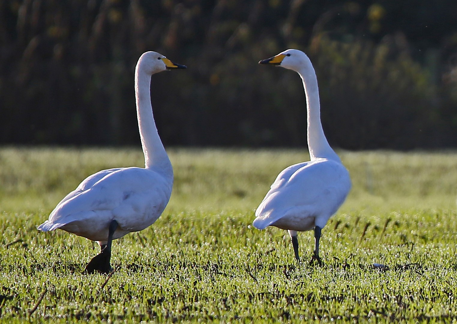 Whooper Swan (John Donnelly)