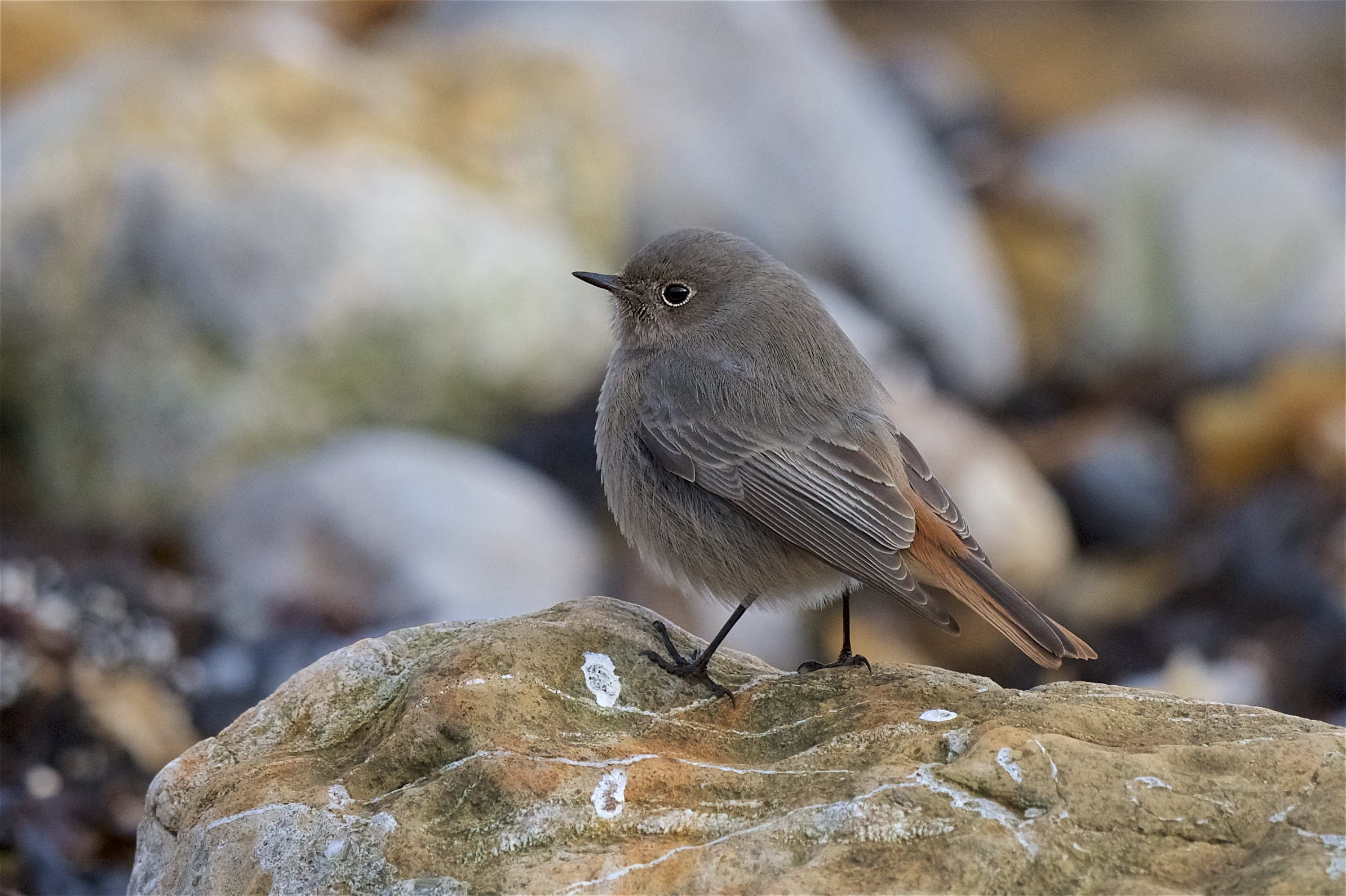 Black Redstart (Peter Christian)