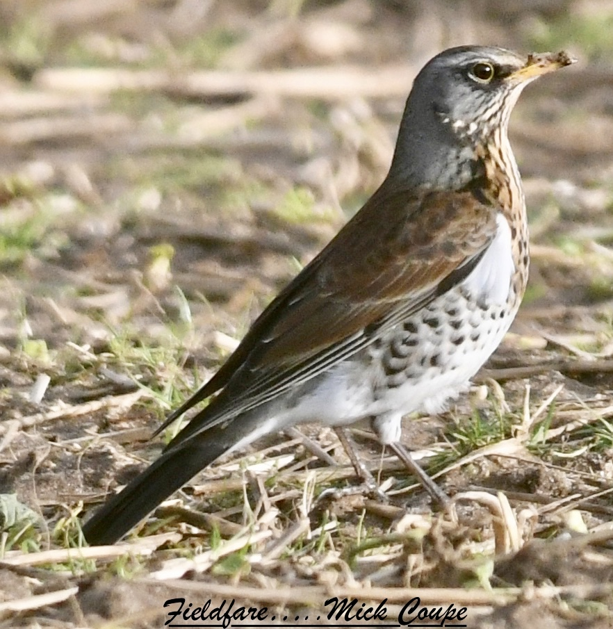 Fieldfare (Michael Coupe)