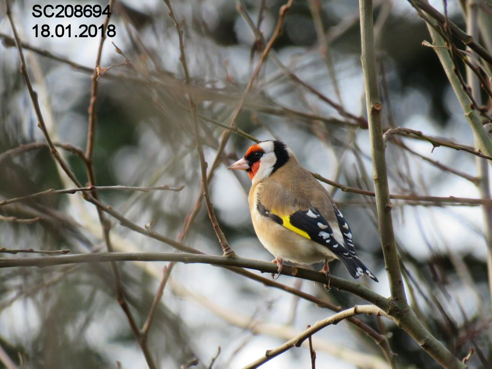 Goldfinch (Sheila Norris)