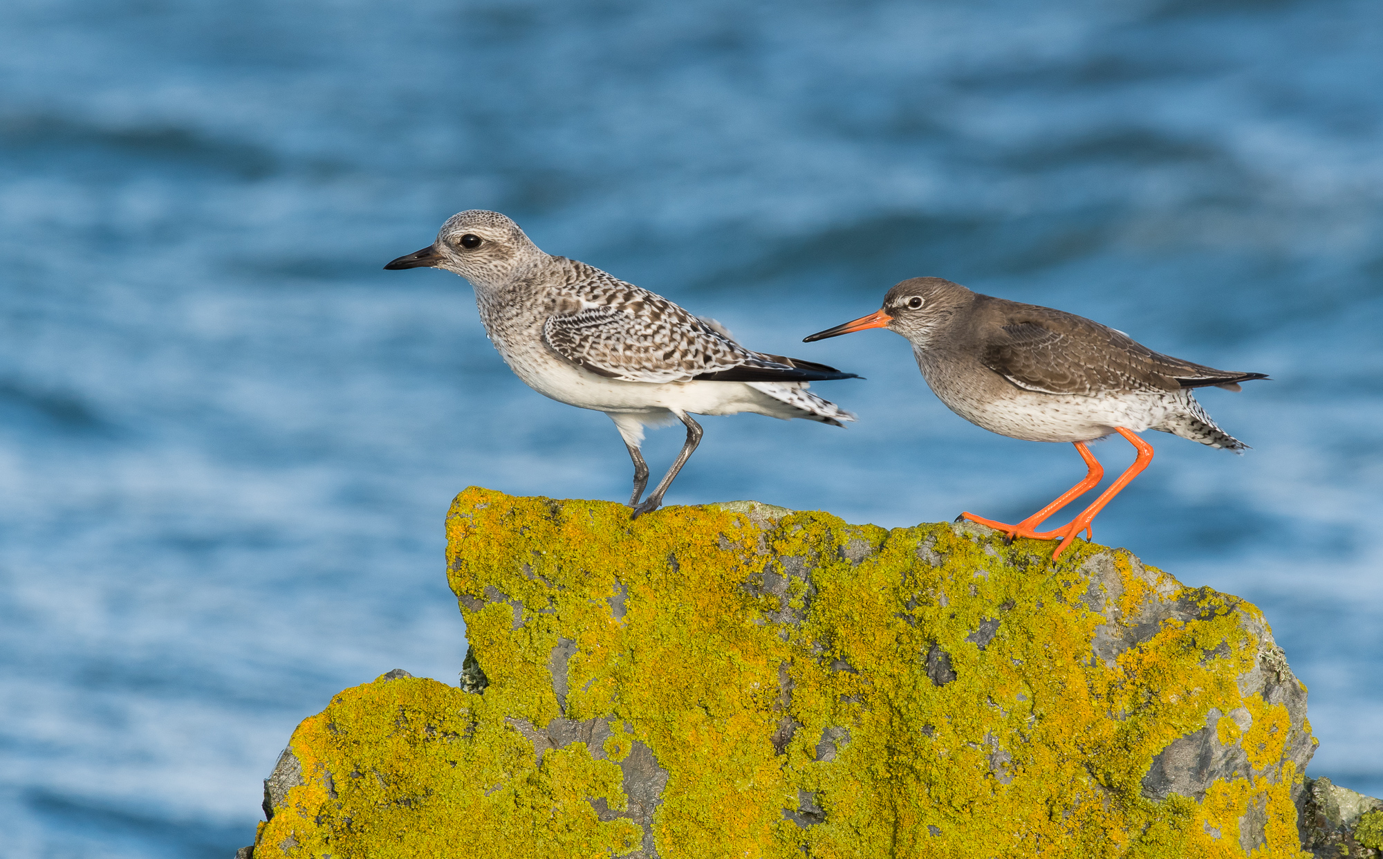 Grey Plover and Redshank (Brian Liggins)