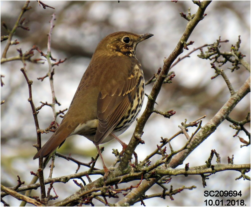 Song Thrush (Sheila Norris)
