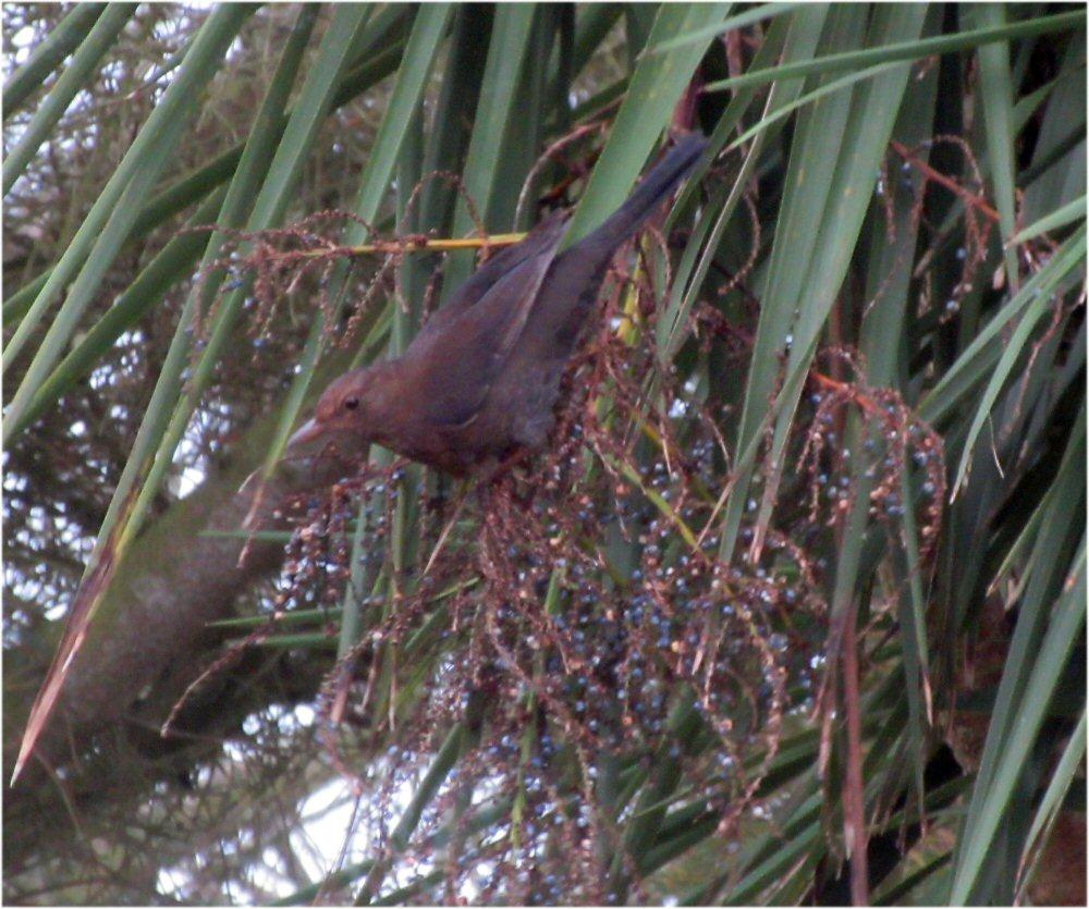 Blackbird (Sheila Norris)