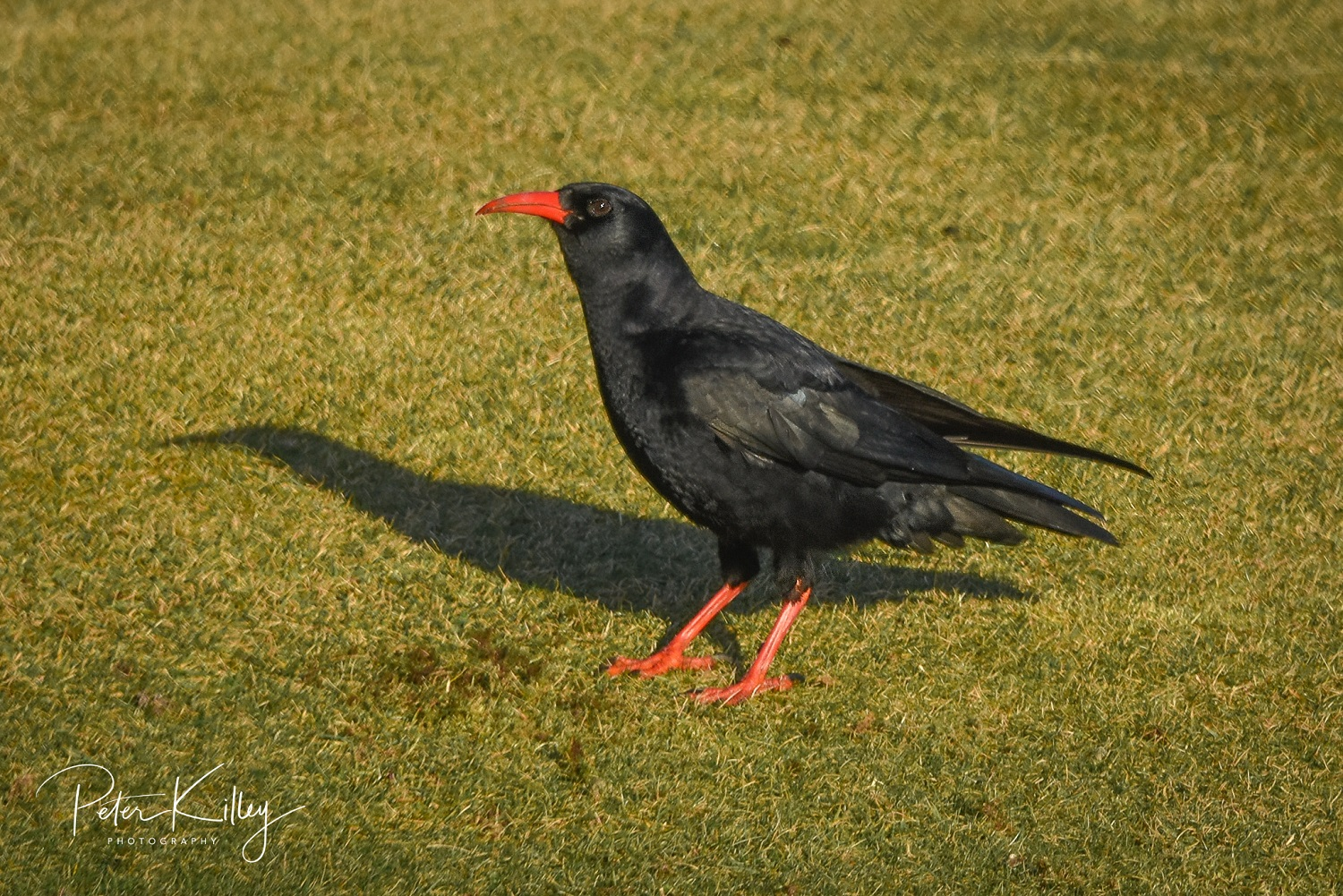 Chough (Peter Killey)