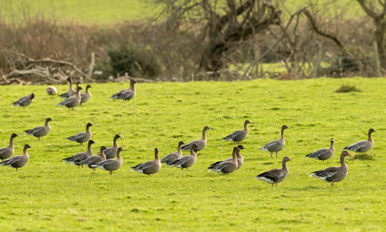 Pink-footed Goose (Frank Wildman)