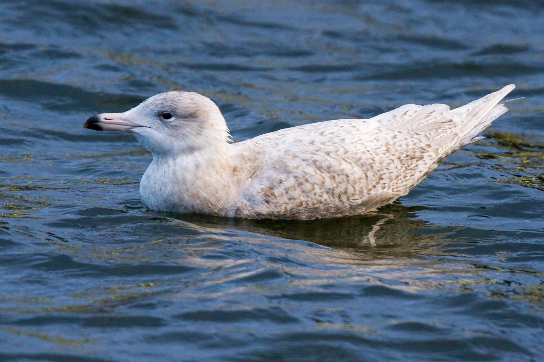 Glaucous Gull (Neil G. Morris)
