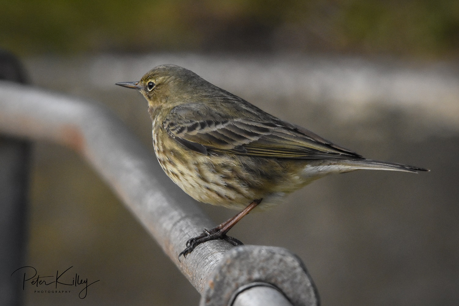 Rock Pipit (Peter Killey)