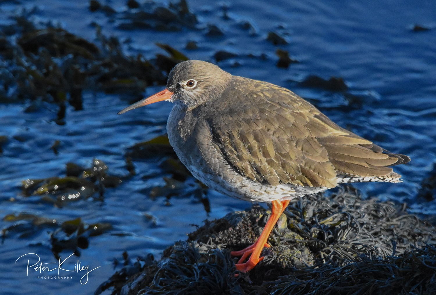Redshank (Peter Killey)