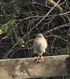 Sparrowhawk (Will Heap)