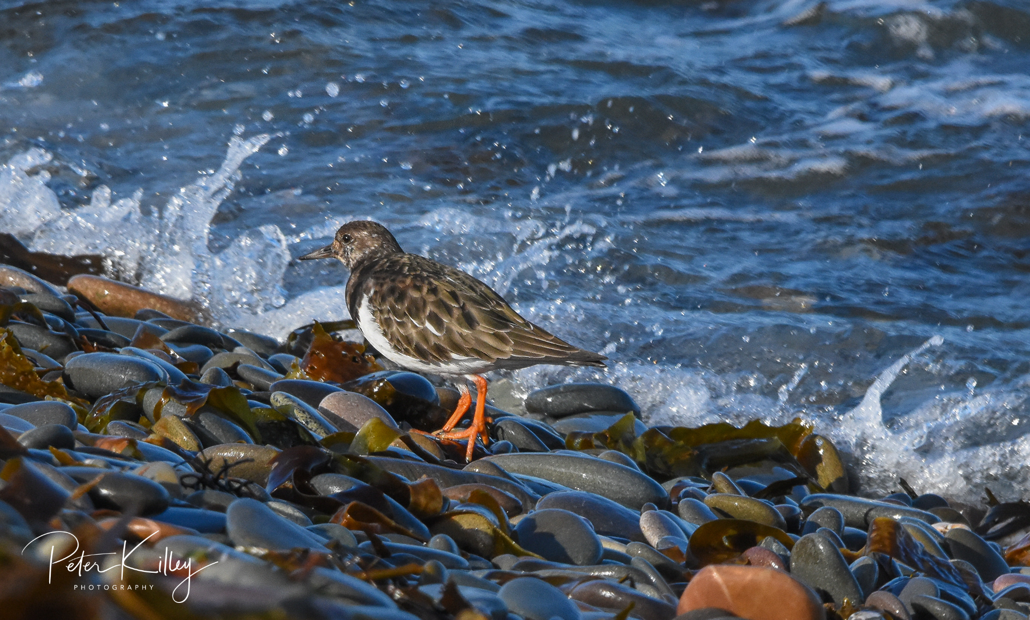 Turnstone (Peter Killey)