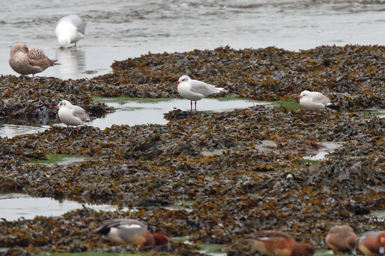 Mediterranean Gull (Neil G. Morris)