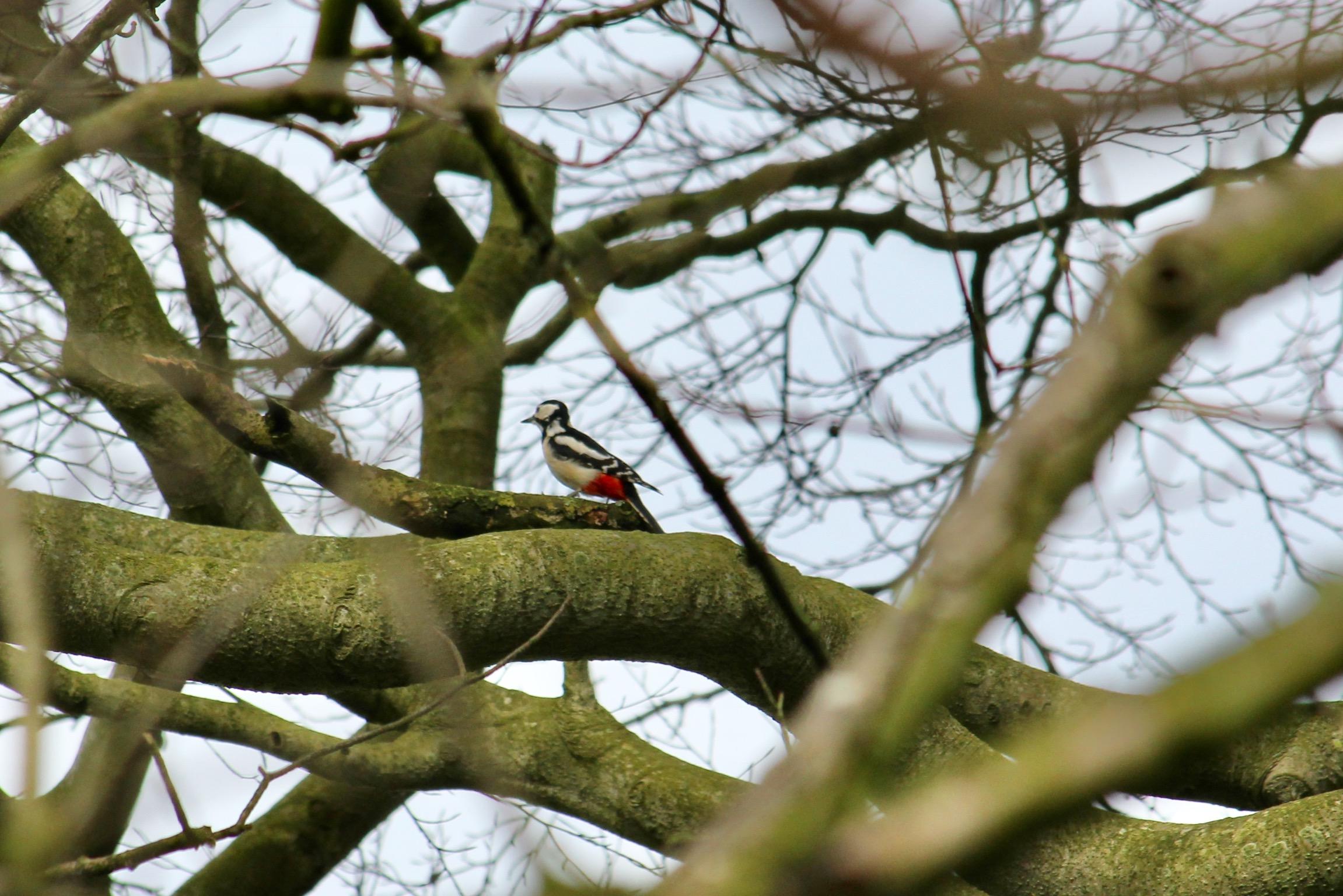 Great Spotted Woodpecker (Mark Harris)