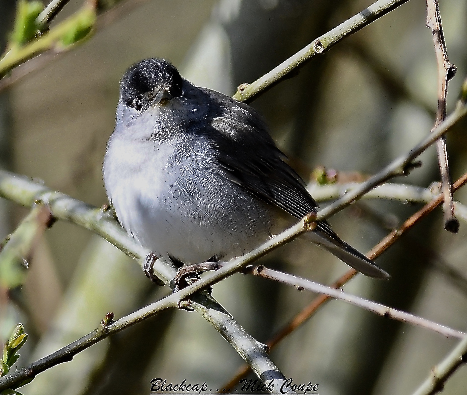 Blackcap (Michael Coupe)