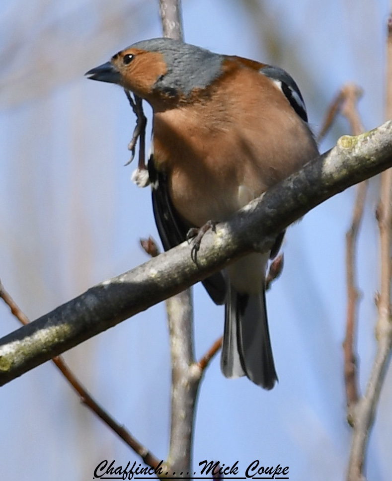 Chaffinch (Michael Coupe)
