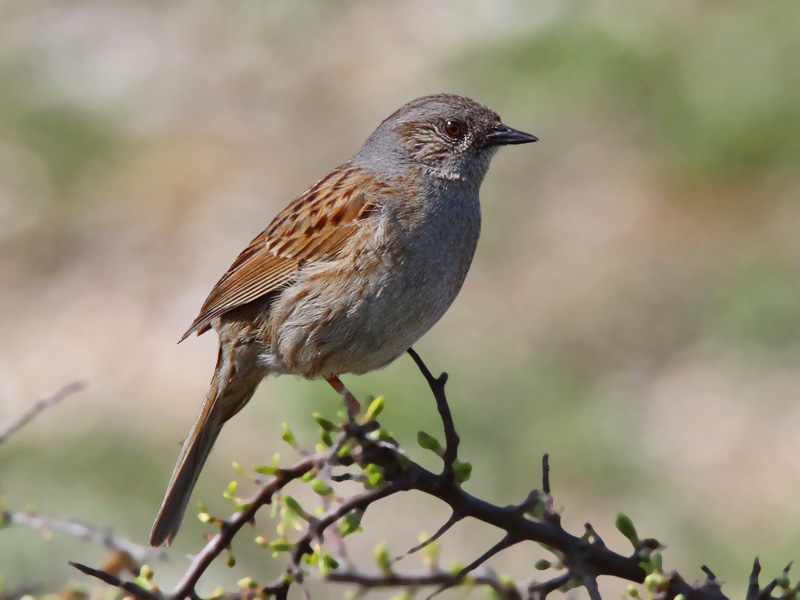 Dunnock - a secretive hedge-nester © Neil G. Morris