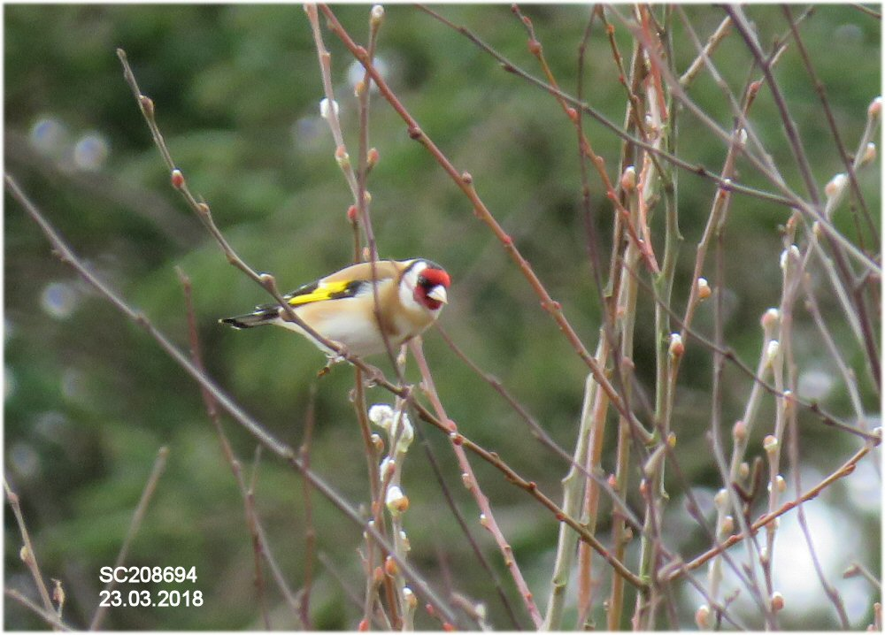 Goldfinch (Sheila Norris)