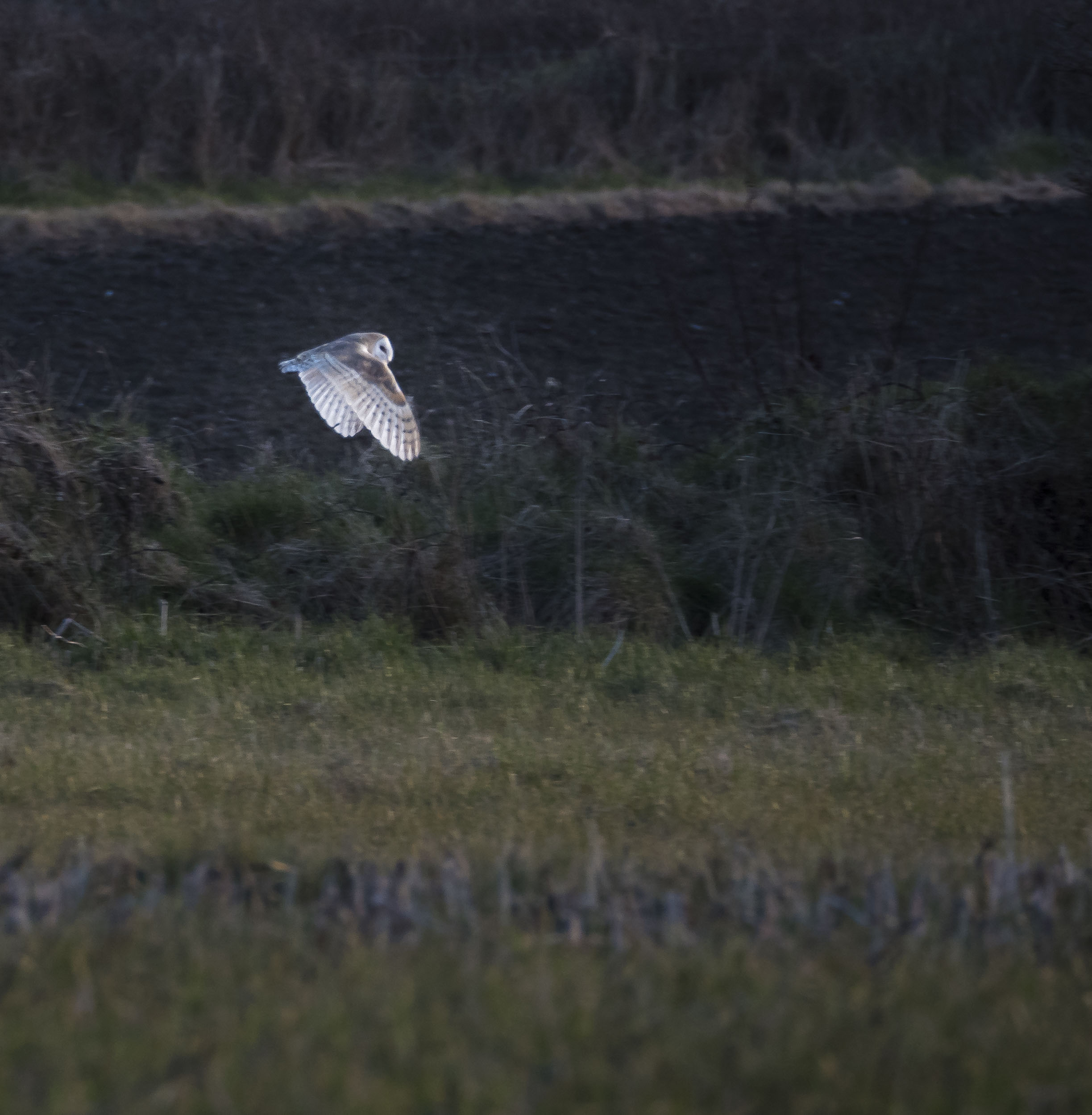 Barn Owl (Mark Boyd)