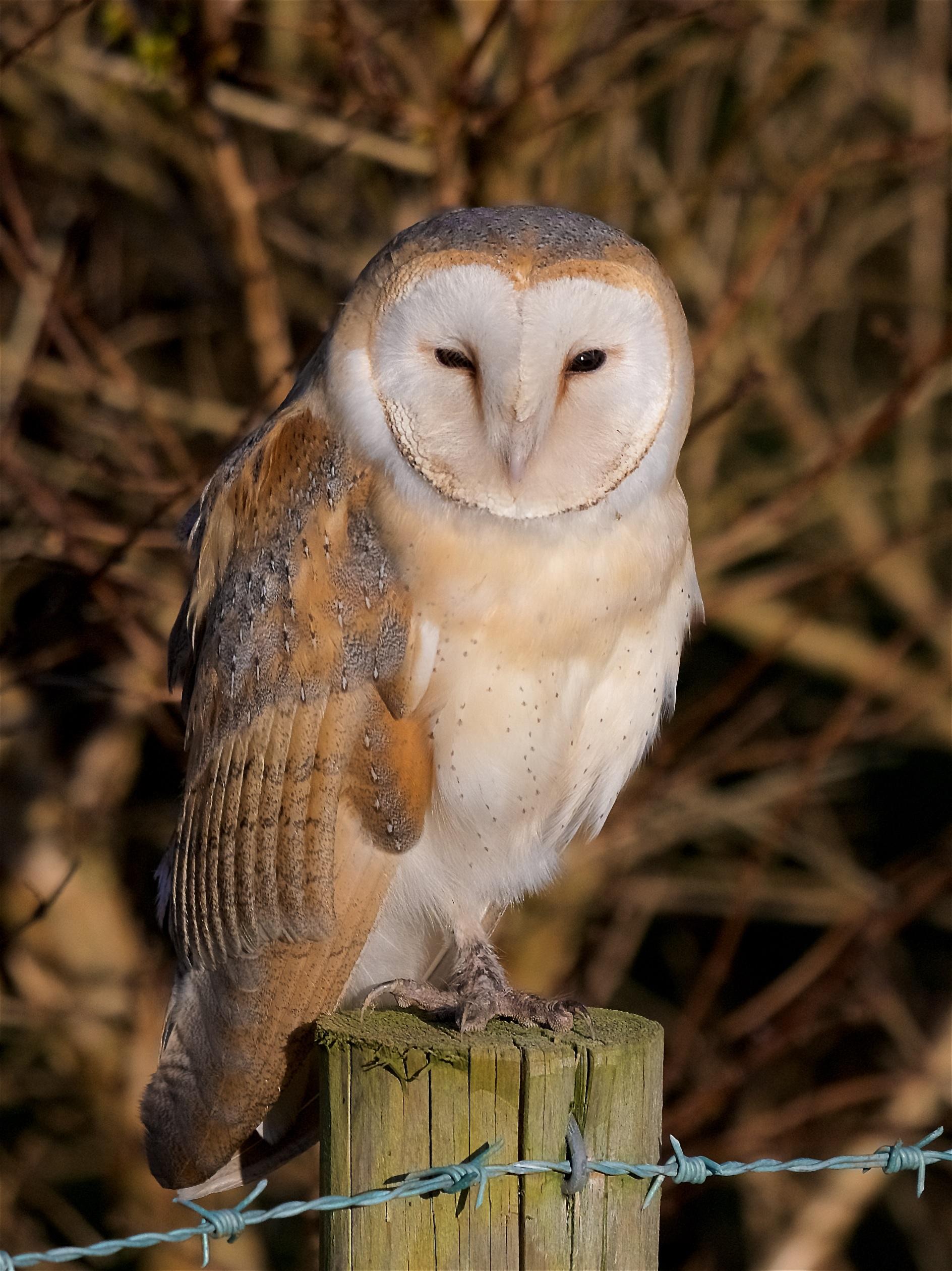Isle of Man 'owl cam' goes live - Manx BirdLife
