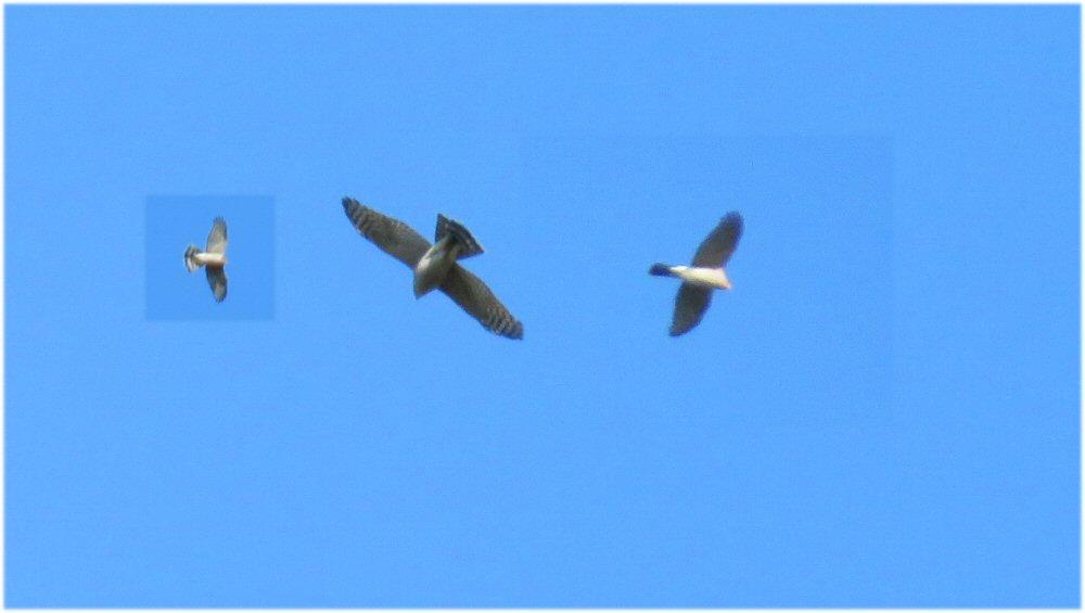 Sparrowhawk composite (Sheila Norris)