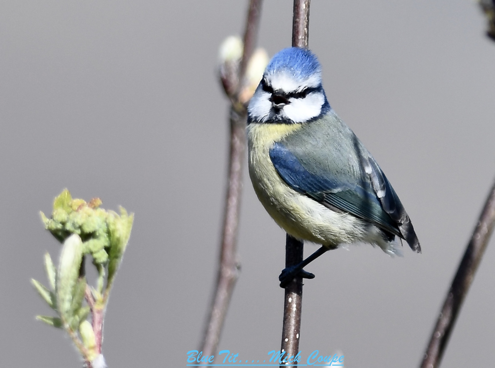 Blue Tit (Michael Coupe)