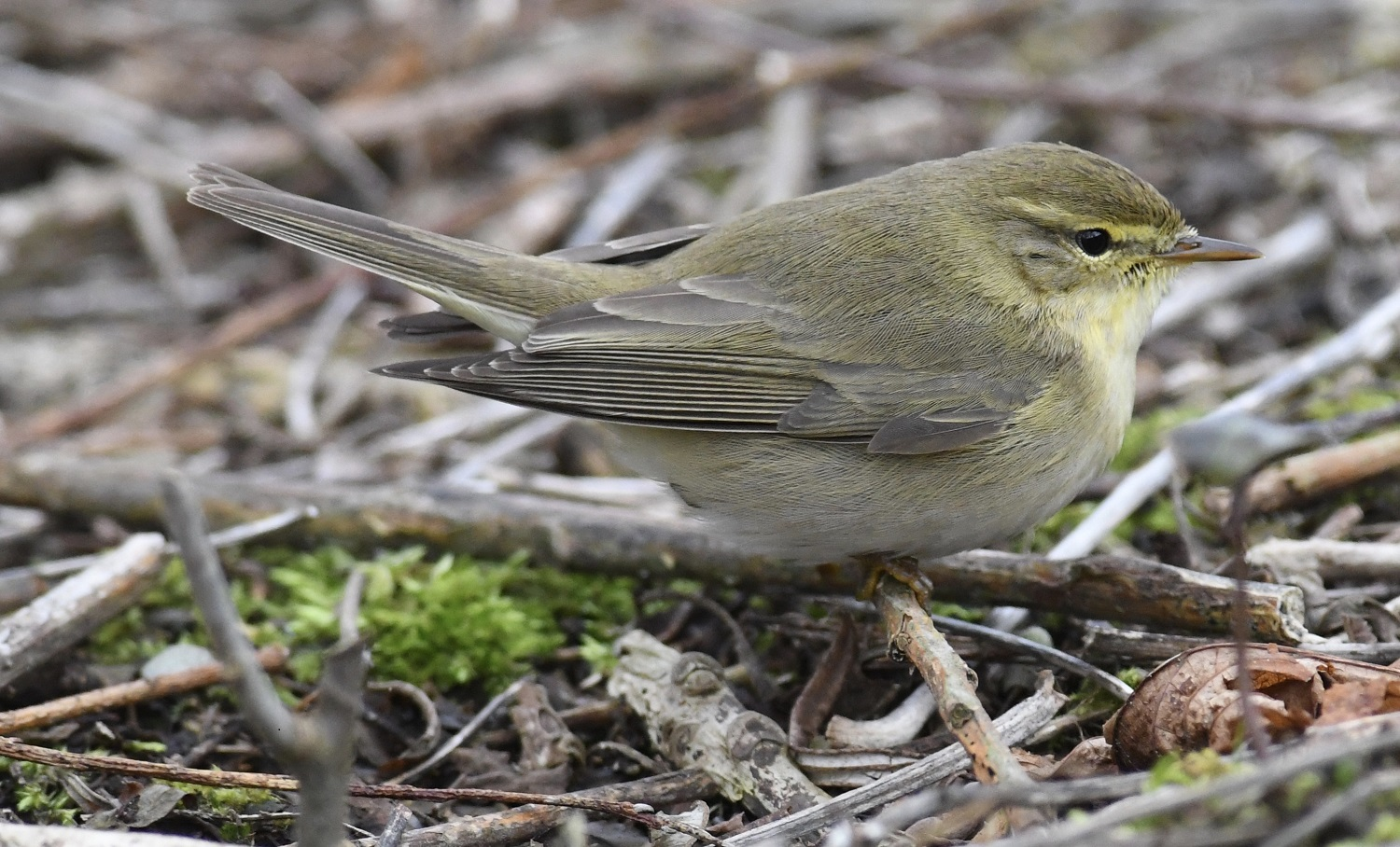 Willow Warbler (Michael Coupe)