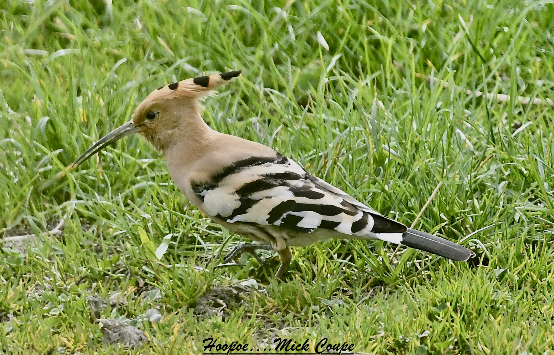 Hoopoe (Michael Coupe)