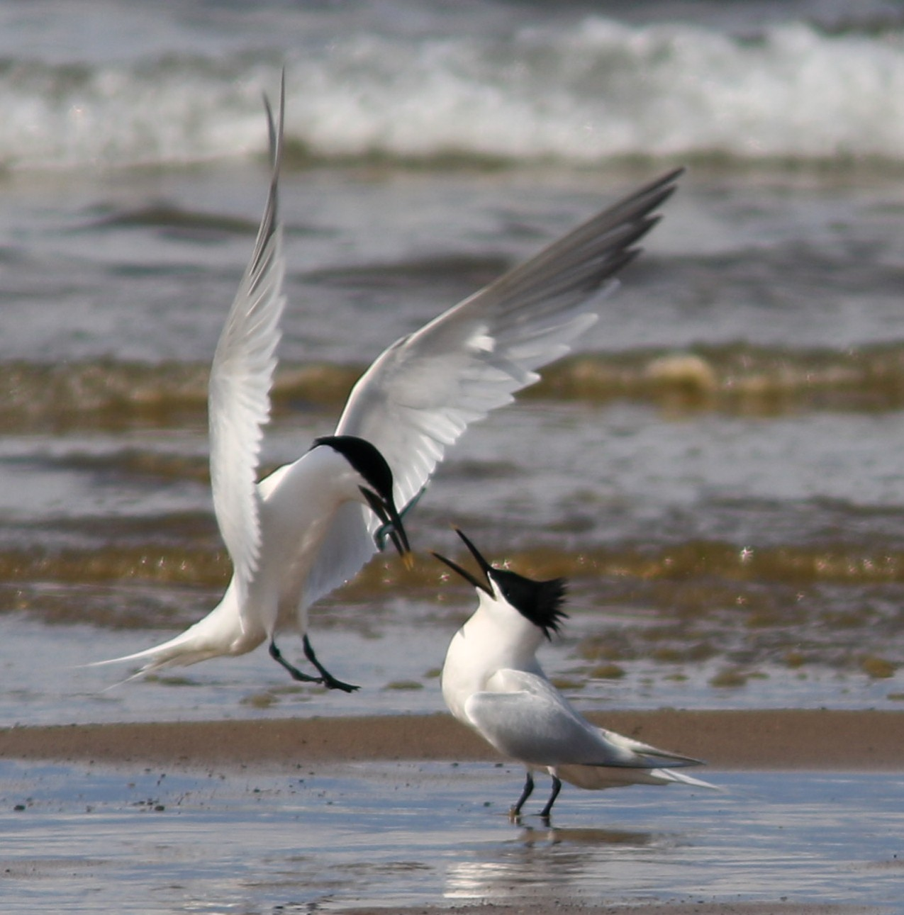 Sandwich Tern (Nick Gordon)