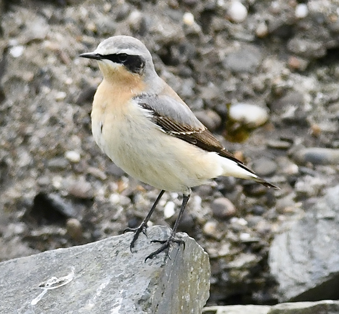 Wheatear (Michael Coupe)